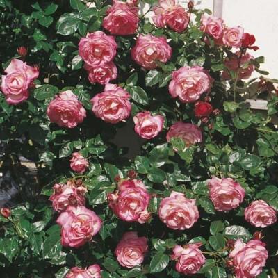 Роза плетистая Арлекин