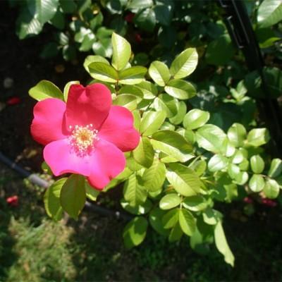 Роза Парковая Робуста
