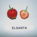 Земляника Эльсанта